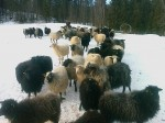 Day 71. This herd of sheep were kept outside to enhance their fleeces