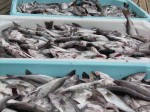 Day 146.1 Fish is the lifeblood of Berlevag and here are large tubs of newly landed haddock