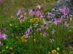Day 182.2 The grass at the edge of the bay was full of wild flowers with these being Ragged Robin
