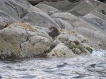 Day 193.4 One of many otters on the south west tip of Vega island