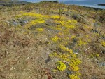 Day 194.1 Sedum in flower on one of the dry islets of Dypningan