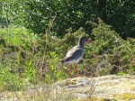 Day 180.2 A pair of noisy Redshank kept me company during lunch near Finnvik
