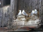 Day 207.2 Kittiwakes on some of the abandoned fishing wharfs